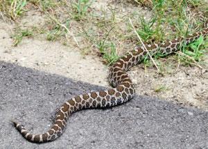 rattlesnake spotted