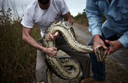 handling a boa constrictor